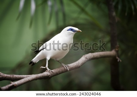 This Critically Endangered species is the national symbol of the Island of Bali.  The bird has blue bare skin around the eyes, greyish legs and a yellow bill. Both sexes are similar. - stock photo