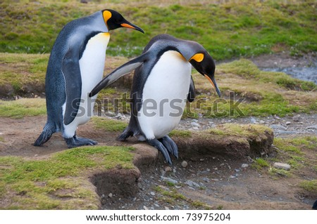 This cute King Penguin couple step carefully as they walk to the beach at their colony at Fortuna Bay, South Georgia Island. - stock photo