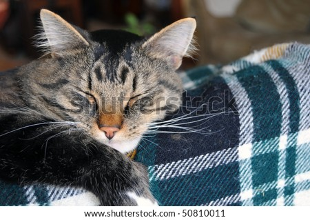 This cute Maine Coon cat sleeps on top of a couch that has a plaid patterned blanket on it - stock photo