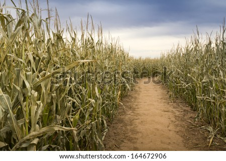 This dry and dusty footpath through a late fall cornfield takes on a very unusual hue on this overcast evening. This path is actually part of a large cornfield maze setup for Halloween.  - stock photo
