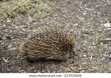 This echidna / anteater is looking for some ants to eat - stock photo