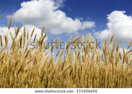 This golden Kansas wheat harvest with it's bright yellow color contrasts nicely against the deep blue sky and puffy white clouds of this dry, hot summer day. - stock photo