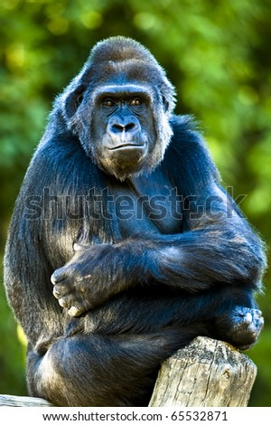 This gorilla seemed to be waiting for all of the people to leave. - stock photo