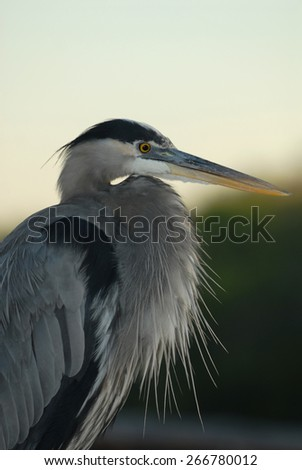 This Great blue heron was in full breeding plumage. Photographed in southern Florida. - stock photo