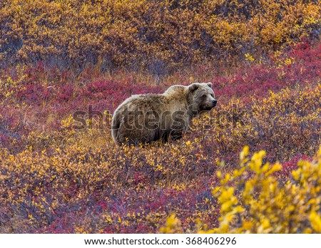 This grizzly bear in Denali National Park was feeding in a red-leaved patch of blueberries. - stock photo
