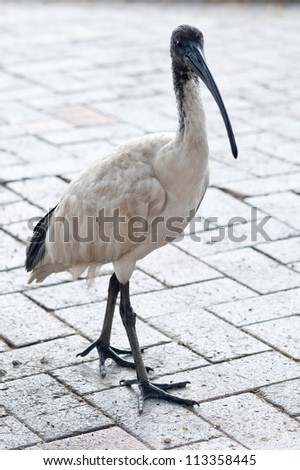This image shows a ibis in Circular Quay, Sydney, Australia