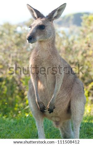 This image shows a kangaroo in Emerald Beach, Australia - stock photo