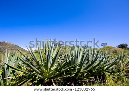 This image shows agave plants (tequila) in Mexico