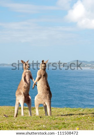 This image shows Kangaroos fighting in Emerald Beach, Australia - stock photo