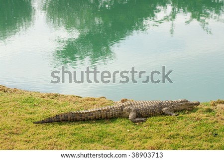 This is a alligator on grass with a pond next to it - stock photo