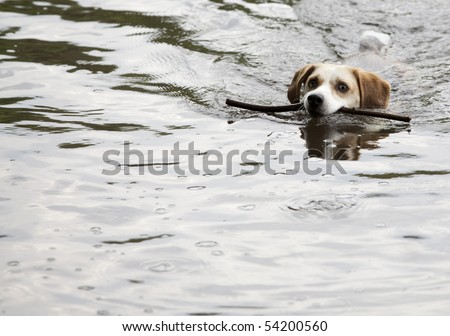 This is a Beagle Swimming