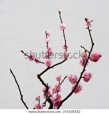 This is a beautiful plum blossom.
