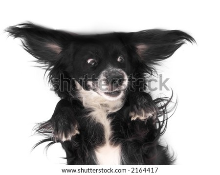 this is a black dog on a white background - stock photo