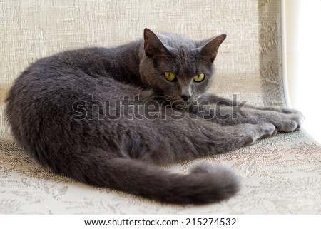 This is a Chartreux cat resting on a chair