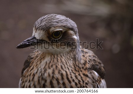 this is a close up of a curlew - stock photo