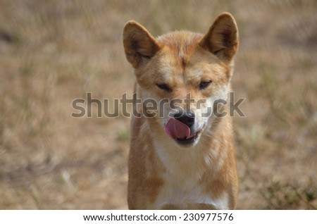 this is a close up of a dingo licking his lips - stock photo