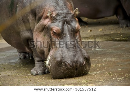 this is a close up of a hippo - stock photo