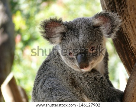 this is a close up of a koala - stock photo
