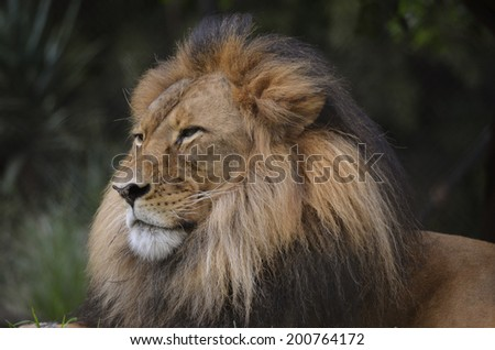 this is a close up of a lion