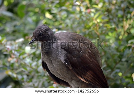 this is a close up of a lyre bird - stock photo