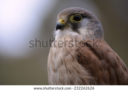this is a close up of a Nankeen Australian Kestrel - stock photo