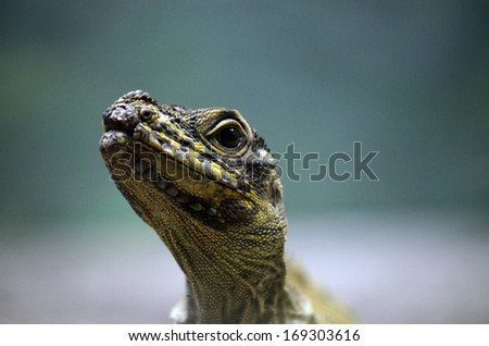 this is a close up of a sailfin lizard - stock photo
