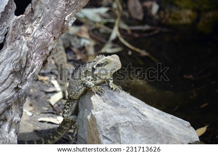 this is a close up of a water dragon lizard - stock photo