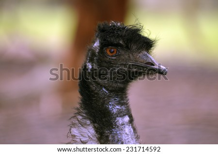 this is a close up of an Australian emu - stock photo