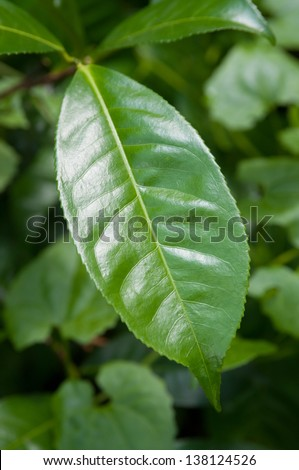 This is a close up of fresh tea growing on a plantation in Sri Lanka (Ceylon). - stock photo