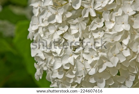 This is a closeup of a large, white hydrangea flower, off center from the center, orientated to the right.  Horizontal summer nature image. - stock photo