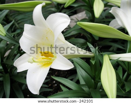 This is a composition of Easter Lillys. - stock photo