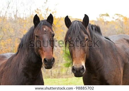 This is a double portrait photograph of a two brown horses in an autumn setting.