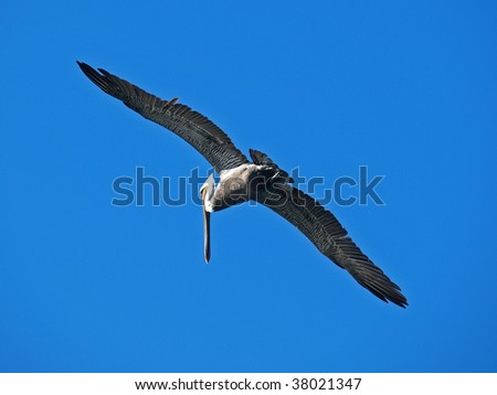 This is a flying pelican. - stock photo