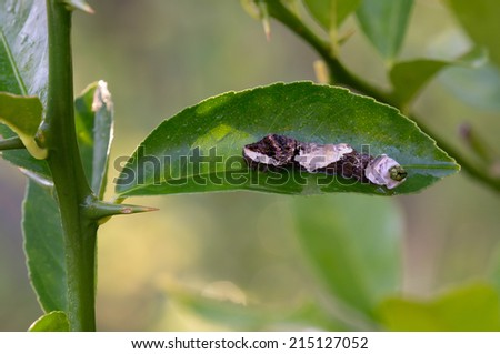 This is a giant swallowtail caterpillar on a citrus leaf pooping - stock photo
