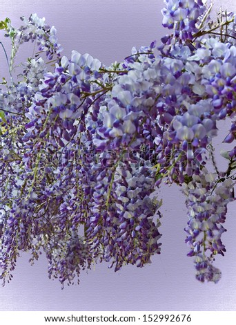 This is a large purple wisteria in bloom with its gorgeous flowers falling in cascades of vertical flowers. - stock photo