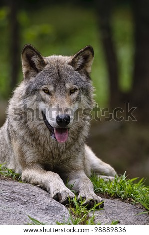 This is a photograph of a Timber Wolf lying down on a rock. - stock photo