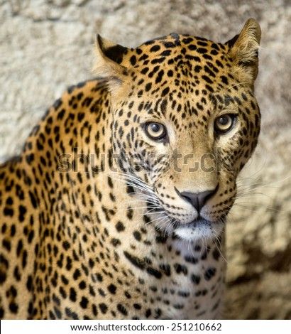 This is a portrait of the leopard ( panther, Panthera pardus). - stock photo