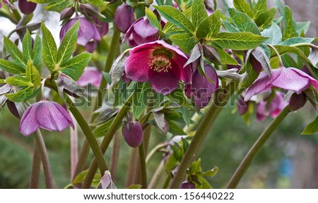 This is a purple hellebore flower Royal Heritage variety, blooming in very early spring.  Great flower with petals hanging down. - stock photo