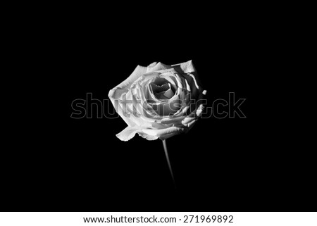 This is a rose shot in low key, and black and white. Taken winter 2014.  - stock photo