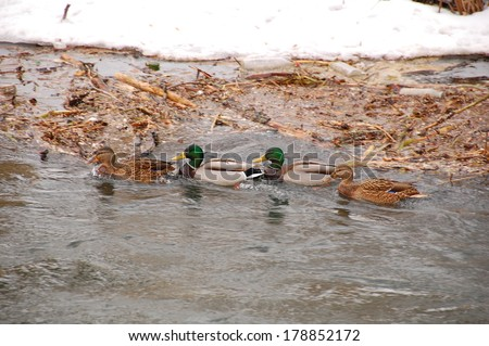 This is a view of ducks and drakes on the river. - stock photo