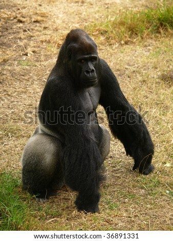 This is a Western Lowland Gorilla. - stock photo