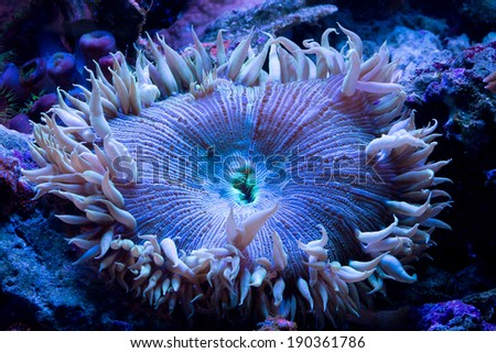 This is a white, blue and green rock anemone. - stock photo