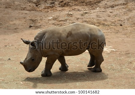 this is a young rhino walking in the heat