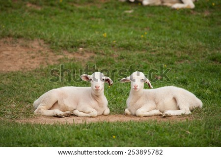 This is an image of two young lambs (Ovis aries) resting on the ground after playing hard on the farm. One has it's mouth open as if it were talking. - stock photo