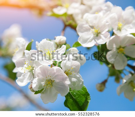 this is blossom apple tree