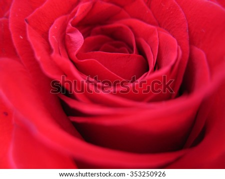 This is bush of a red rose - stock photo
