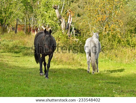 This is love! Beauty Thoroughbred mare and stallion ordinary. Quarrel - stock photo