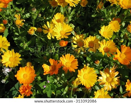 This is summer  blossoming of  calendula (marigold) flowers                             - stock photo