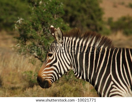 This is the Cape Mountain Zebra, one of the most endangered mammals in the world, wild and in its natural habitat in South Africa.