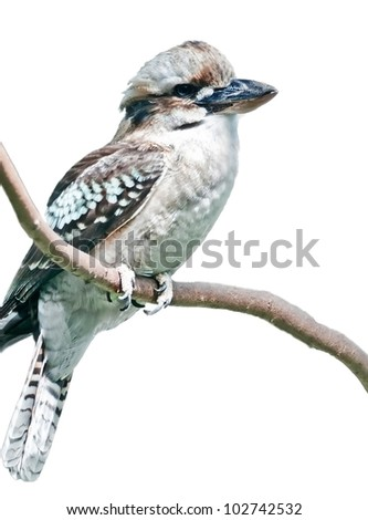 This kookabura bird is sitting on a branch, isolated on white in a vertical orientation. - stock photo